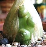 Enceinte oignon ornithogalum caudatum rare bulbe succulente graine de mer Faux 15 graines