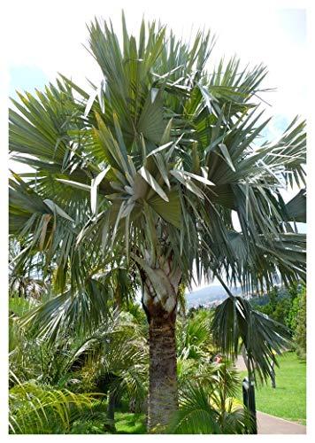 TROPICA - Bismarck - Palme `Siver` (Bismarckia nobilis `Silver`) - 2Samen