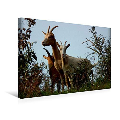 CALVENDO Premium Textil-Leinwand 45 x 30 cm Quer-Format DREI Ziegen, Leinwanddruck von Sabine Löwer