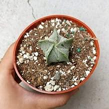1 Bishop's Cap Cactus Astrophytum Myriostigma (4
