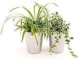 CHLOROPHYTUM, FALANGIO e FICUS REPENS VARIEGATO, PIANTE PURIFICA ARIA, IN VASO CERAMICA ARGENTO, piante vere