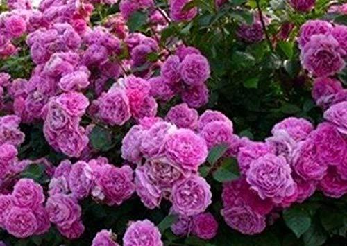 Schöne lila Kletterrose Samen 80 Samen - KAUF 4 EINZELTEILE
