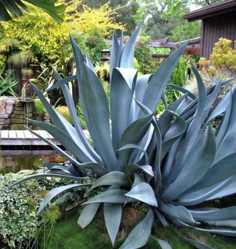 Agave salmiana, plante succulente rare pulque siècle jardin exotique graines 50 graines