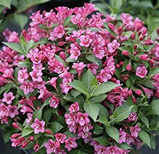 """Pink Weigela Bare.ro.ot Plant - 12-18"""" 