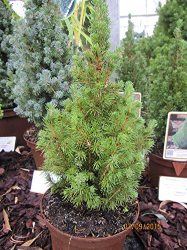 Zuckerhutfichte Picea glauca Conica 70-80 cm hoch im 5 Liter Pflanzcontainer