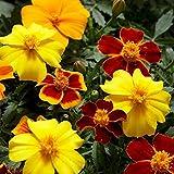 60 Dainty MARIETTA FRENCH MARIGOLD Tagetes Patula Red & Yellow Flower Seeds