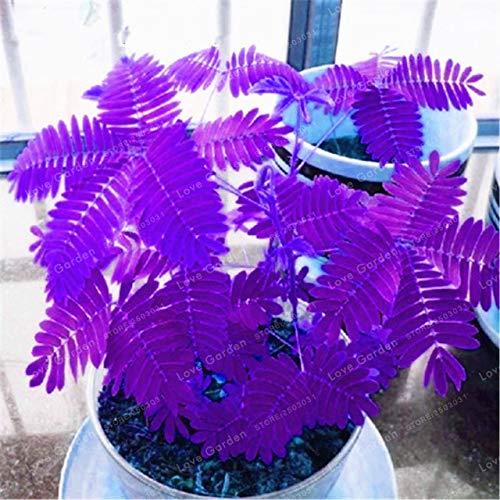 Bloom Green Co. 30 piezas Bashai Hierba Bonsai Mimosa Pudica Linn Follaje Mimosa Pudica Planta Bonsai Sensible Jardín de su casa: 1