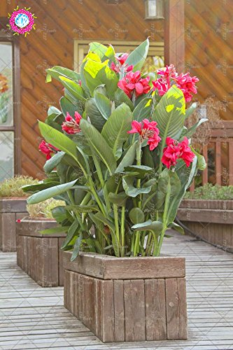 10 pcs couleurs mélangées Canna Lily Graines Belle Bonsai Graines de fleurs Feuillage Magnifique vivace Plante en pot pour jardin 6