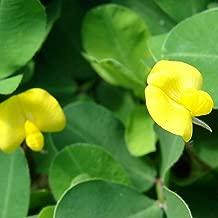100 Pcs Perennial Peanut Pinto Ground Cover Flower Arachis Pintoi Seeds #SSNH