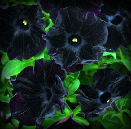 Terciopelo negro bolsa de semillas de flor de la petunia estratificado y por 100 semillas