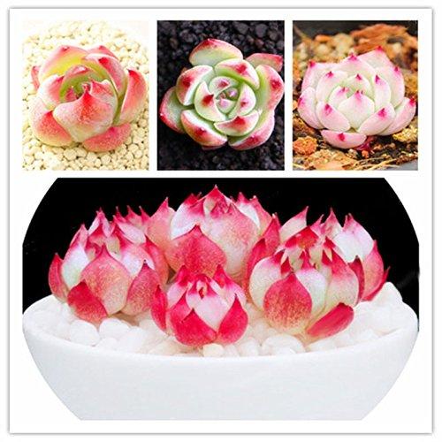 Inovey 100Pcs/Pack Echeveria Succulents Lithops Seeds Home Garden Bonsai Flower Seeds Planting