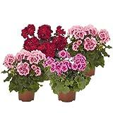 Pack de 4 Geranios con Flor Plantas para Terraza o Jardín Flores de Colores Surtidos