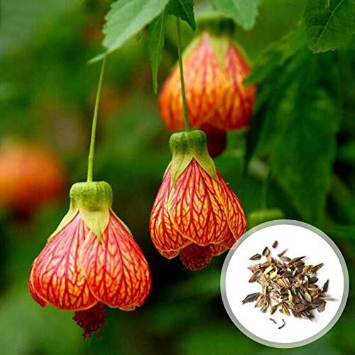 P12cheng Seed Plant 100Pcs/Bag Abutilon...