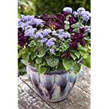 花の種子:梅雨ガーデニング種子ガーデン[ホームガーデンの種子エコパック]のためのFlossflower花の種による植物の種子