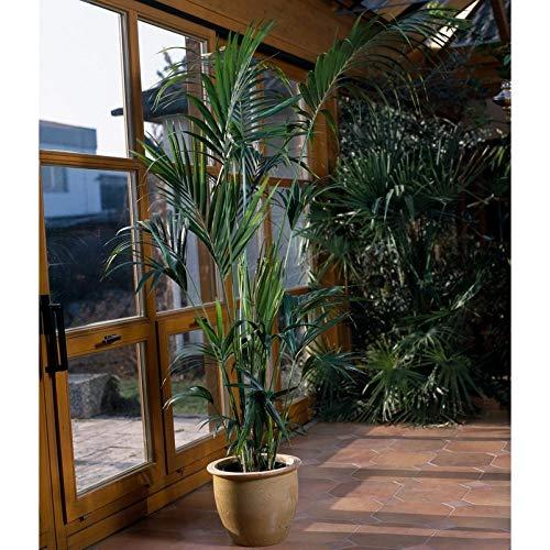 Pflanzen Kölle Kentia-Palme ca. 160 cm hoch, 24 cm Topf