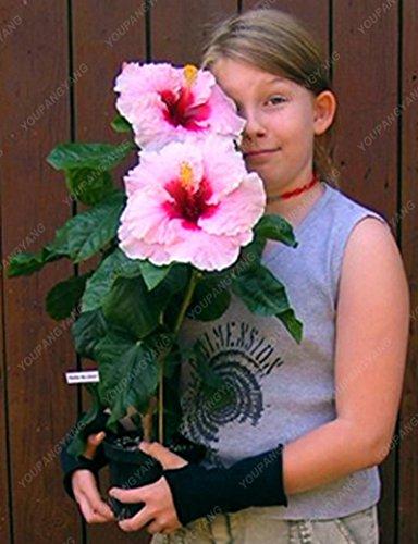 100 graines géant Hibiscus exotiques Graines Fleurs Corail jardin Bonsai rose et blanc Rare vivace Fleur Plante en pot pour le plaisir jaune