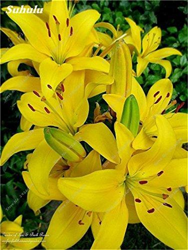 50 Pcs parfum Lily Graines, Graines de plantes d'intérieur, Germination Fleur 99% Creepers Bonsai Bricolage Fournitures Jardin Pots Planters 8