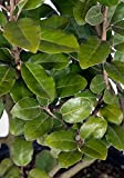 3 Gallon - Elaeagnus Ebbingei (Silverberry) - Fast Growing Evergreen Shrub
