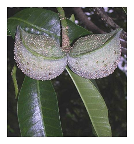 Tabernaemontana elegans - Toad Tree - 10 graines