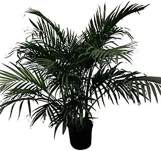 PlantVine Chamaedorea cataractarum, Cat Palm - Extra Large - 12-14 Inch Pot (7 Gallon), Live Indoor Plant