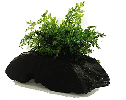 Greenpro (Bolbitis Heteroclita Difformis) Anubias, Java Fern, Moss and More! Freshwater Live Aquarium Plants on Driftwood for Aquatic Tropical Fish Tank Decorations - Easy for Beginner