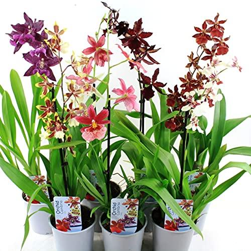 3x Cambria Orchideen Zimmer Pflanzen Mischung aus Holland. Mix aus 3 Farben (Gelb, Braun und Rosa). 30-40 cm hoch mit Blüten.(keine künstliche Orchidee, ohne Dünger und Topf)