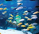 Family of (15) African Cichlids 1.25' Live Tropical Fish Assorted Mbuna Cichlid