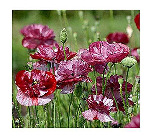 Klatschmohn - Mohn Pandora - Blume - 100 Samen