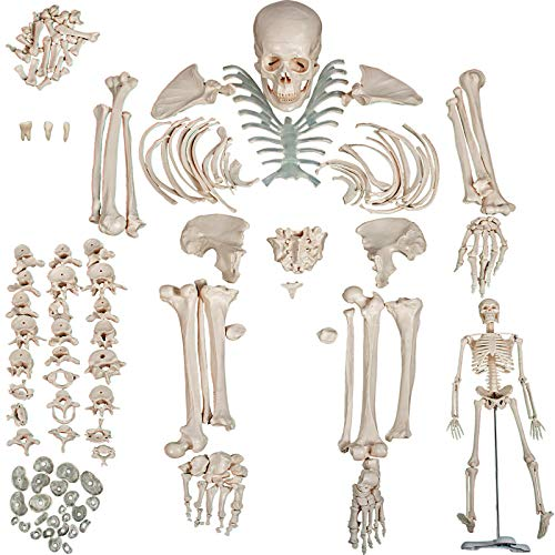 VEVOR Disarticulated Skeleton 62 inch Model Height Disarticulated Human Skeleton Life Size Bones Disarticulated Skeleton Model with 3-Part Skull Articulated Hand and Foot Human Bone for Teaching Use