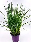 Schnittlauch Pflanze, Allium schoeneprasum Kräuter Pflanze 2stk.