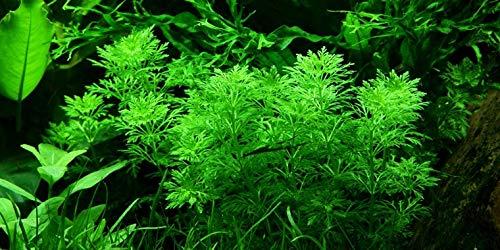 Limnophila Sessiliflora - Ambulia - 3 Ramos - Planta de acuario vivo