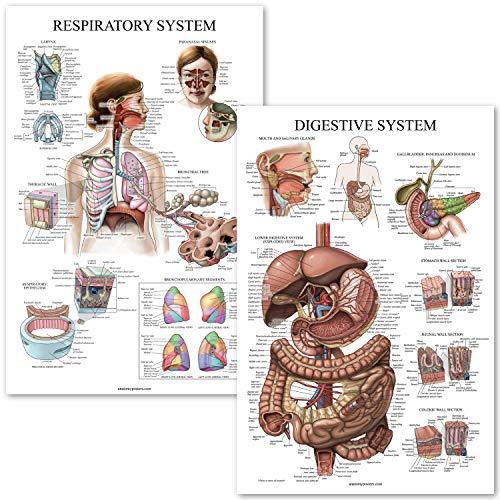 Digestive System & Respiratory System Anatomy Posters - Laminated 2 Chart Set - 18 x 27 (Digestive/Respiratory)