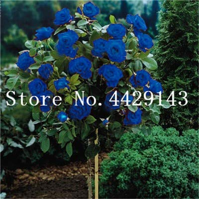 100 Stück Seltener Rosenbaum Blume Mini Rose Rose Tree Mini Bonsai Kletterrose Blume Bonsai für Hausgarten: 11