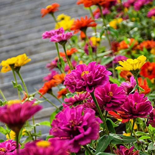 Semi di zinnia per piantare all'aperto Ogni confezione (2000+) Semi Colori misti Giardino Semi di fiori recisi di gioventù e vecchiaia