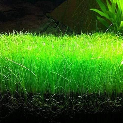 Garden Of Agrey Aquatic Water Grass Decoration Fish Tank Foreground Plant Large Eleocharis Acicularis Aquarium Plant Seeds