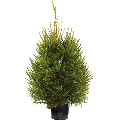 Norway Spruce Pot Grown Christmas Tree - Choice of sizes