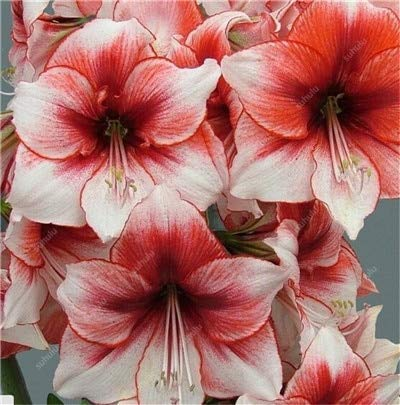 100 Pcs Amaryllis Bonsai Cheap Amaryllis flower, the Barbados Lily potted plants, Bonsai Balcony Flower For Home Garden Planting : 3