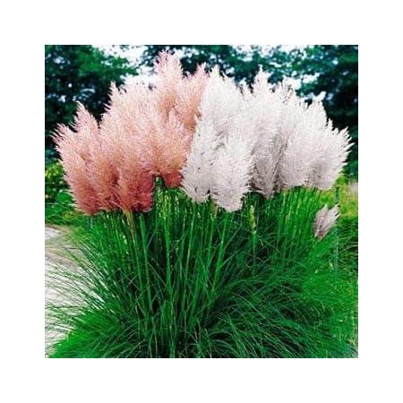 USA SELLER 200 Red Pampas Grass Seeds Perennial Flowering Ornimental Grasses