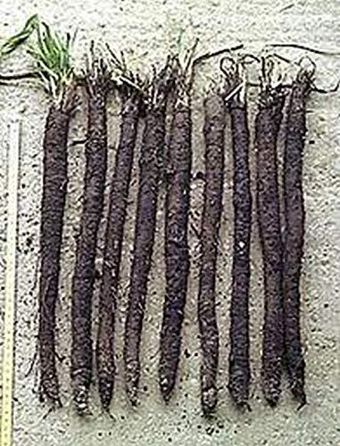 Samen-Paket Nicht Pflanzen: 50 - Samen: Schwarzwurzel - Ans Schwarze - Rare !!!! Great Oyster Geschmack !!!! freies Schiff!