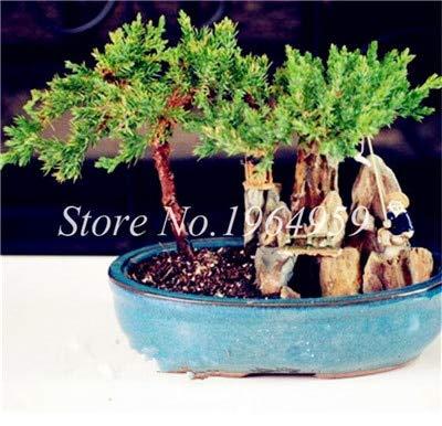 Shopmeeko Graines: Bonsai 30 Pcs coloré Arbre mixte Bonsai Starter Juniper japonais -Juniperus PROCUMBENS & # 39; Nana & # 39; Plante en pot Absorber gaz nocifs: 10