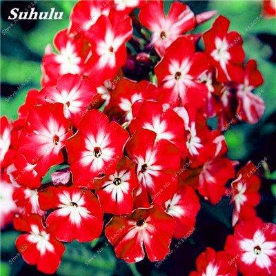 100 Pcs rares Nerium Graines Oleander Plantation Saisons de fleurs en pot Plantes culture facile Chine Graines Balcon Jardin Décoration 2