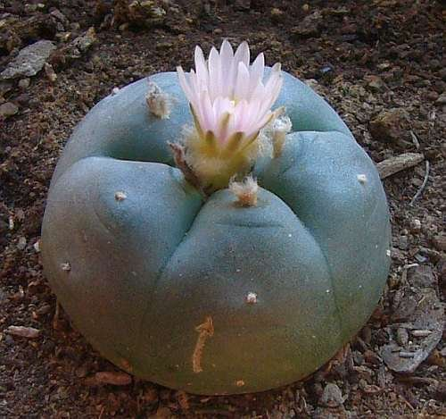 Lophophora williamsii v Las Coloradas - Peyote - 10 Samen