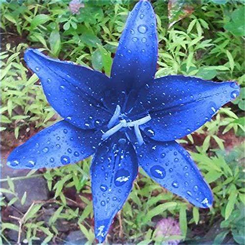 Lilien zwiebeln,Seltene blaue Lilienknolle, Lufterfrischer, Gartendekoration, gemäßigte und subtropische Pflanzen,-5zwiebeln