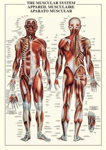 Empire Merchandising 602749 - Poster educativo sull'apparato Muscolare, 68 x 98 cm