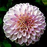Fnho Ornamentales Semillas,Ornamentales para balcón, Jardín,Semillas de, macetas en macetas fáciles de Temporadas-Blanco + púrpura_500grain