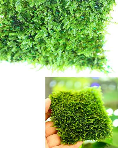 Corisrx Water Plants Taiwan Moss (Live Aquarium Plant) 3'x3' Stainless Steel...