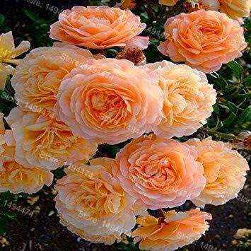 Vistaric 10pcs / sac mixte couleur pivoine graines Chinois Rose graines Arbre Pivoine Graines belle Décoration bonsaï fleur plante pour la maison jardin 9