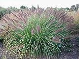 3 x Pennisetum alopecuroides 'Red Head' 1 Liter (Ziergras/Gräser/Stauden) Lampenputzergras