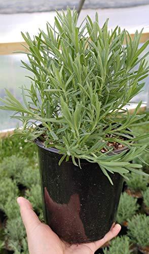 Findlavender - Lavandula Stoechas Lavender, French Lavender - 2.5QT Size Pot - 1 Live Plant