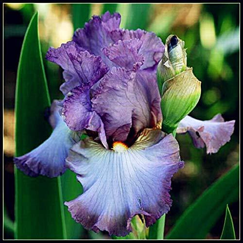 Iris Staude,Schwertlilie...